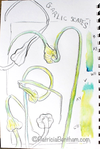 Drawing garlic scapes